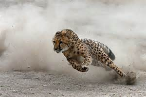 How Fast Do Jaguars Run Cheetah A Phantom View Of The World S Fastest