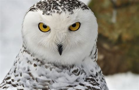 best 28 snowy owl where do they live other the o jays