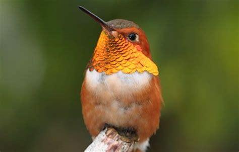 The Takaratomy Kotoridayori Humming Bird Whistles While You Work by Best 25 Hummingbird Photos Ideas On