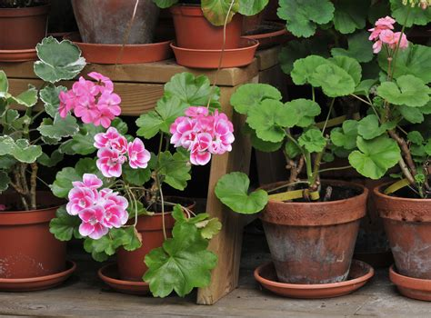growing zonal geraniums pelargonium x hortorum