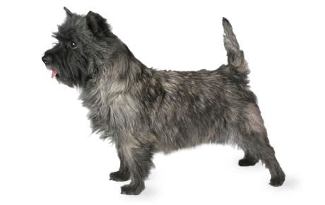 brindle cairn haircut cairn terrier dog breed information pictures characteristics facts dogtime