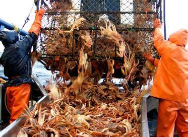 survey suggests declines in alaska snow crab king crab biomass undercurrent news