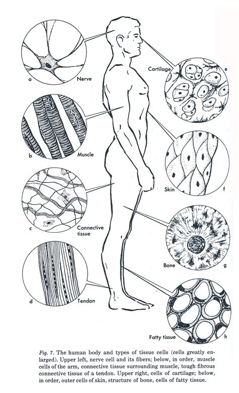 anatomy and physiology coloring workbook answers tissues week 3 anatomy diagram of human tissue a tissue is made