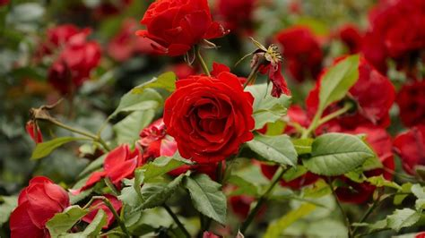 red roses blooming in the garden wallpapers and images