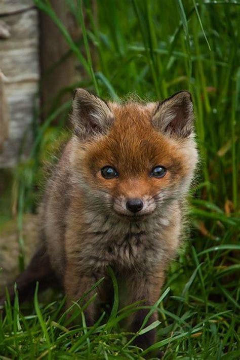 adorable animals little baby fox cutest animals pinterest little babies hunt