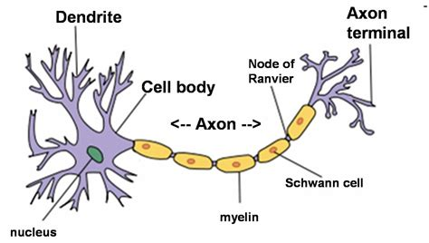 Neuron Worksheet by Chapter 12 Neurons
