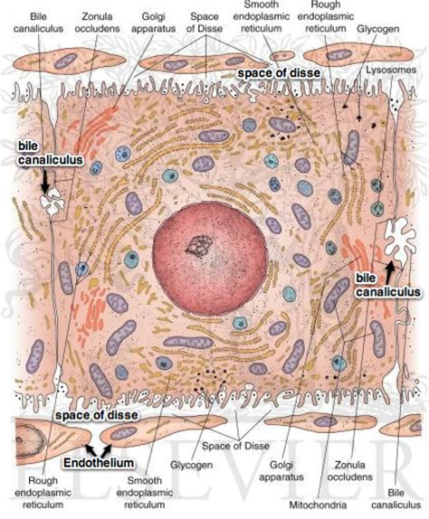 liver cell diagram liver and pancreas lecture 143 bvetmed1
