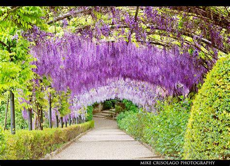 purple flower garden hanging purple garden of florence italy bastard type