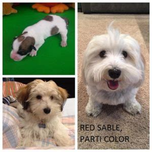 colored havanese chocolate havanese www pixshark images galleries with a bite