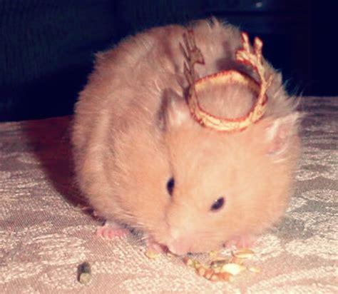jenis hamster  jinak  tidak menggigit hobinatang