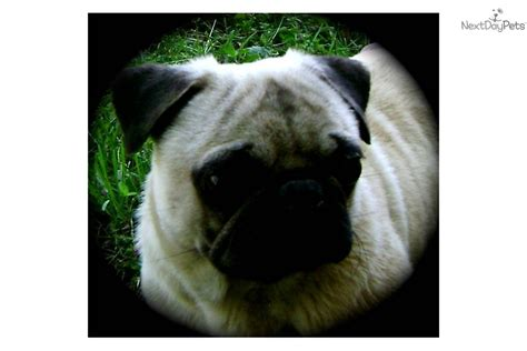 pug puppies knoxville tn pug puppy for sale near knoxville tennessee 5e4077ac 7411