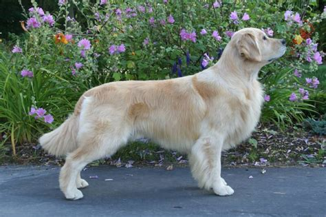 golden retriever akc standard golden retriever breed standard assistedlivingcares