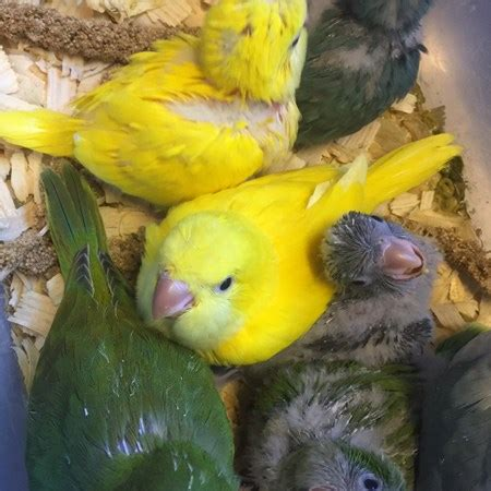quaker parrot 138416 for sale in raleigh nc