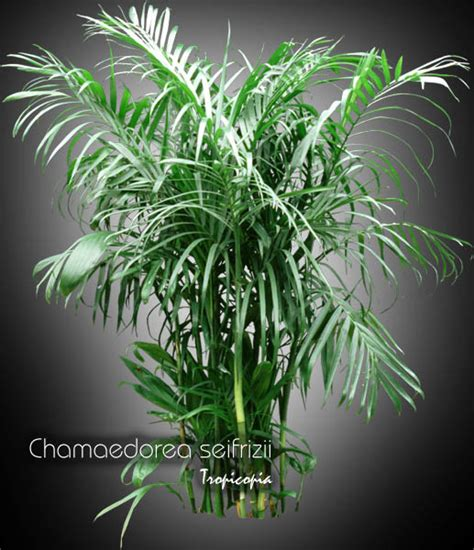 House Plant Tropicopia Online House Plant Picture Of Palm