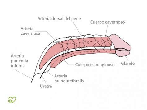cuales son las partes del pene sistema reproductor 5 sentidos y sst sistema