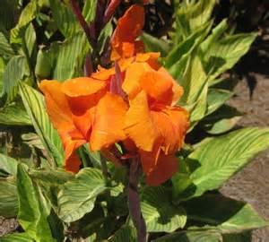 flowers canna x generalis bengal tiger pretoria plantilus com