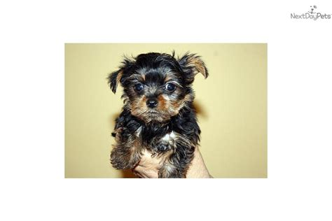 yorkie poo puppies portland oregon micro yorkie poos for sale breeds picture
