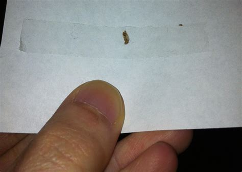 what do bed bug shells look like bed bug shells pictures bangdodo