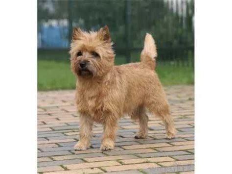 types of terrier dogs terrier breed types picture ideas cairn terrier