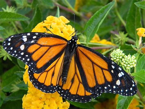 monarch color monarch color photograph by warren thompson