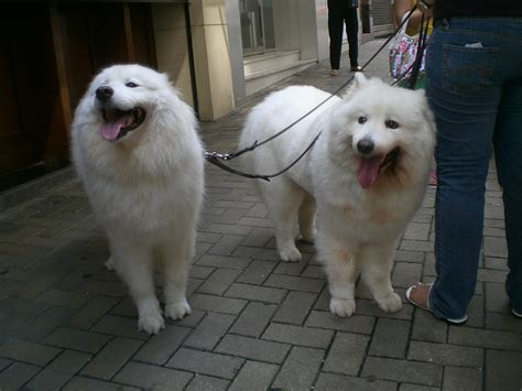 dogs with hair file hk happy valley king kwong dogs with hair in white 2 jpg