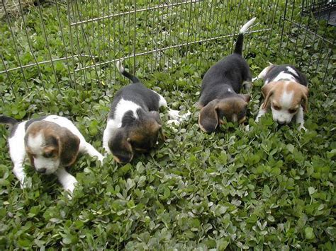 snoopy dog house for sale beagle for sale for sale in selangor malaysia dog breeds picture
