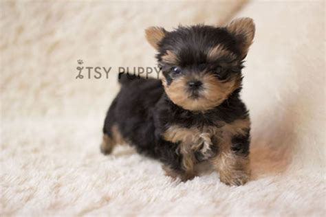 black teacup yorkie sold toto micro teacup yorkie itsy puppy teacup microteacup puppies for