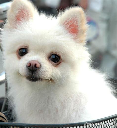 images for pomeranian puppies pomeranian puppy 4 jpg