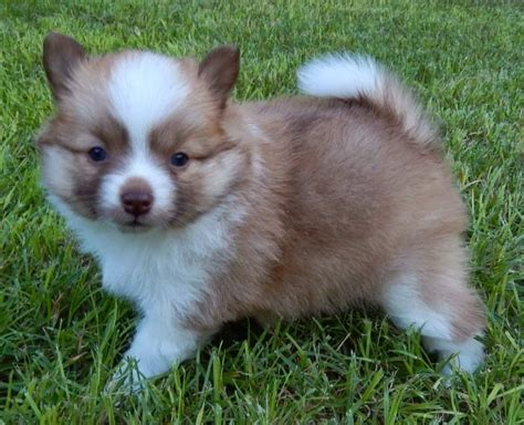 pomeranian and children home pomsky pup