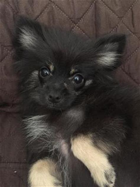 what does a pomeranian look like does he look like a real pom pup