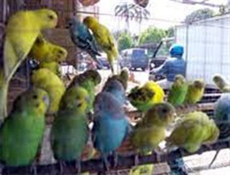 Jual Pakan Burung Lb sejarah dan cara ternak parkit
