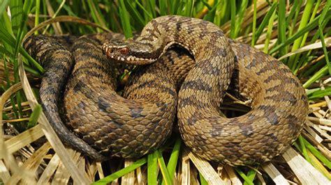 schlangen im garten aspisviper vom aussterben bedrohte giftschlange 7