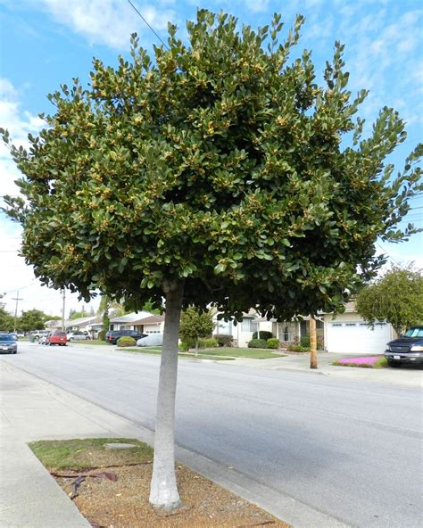 laurus nobilis saratoga grecian laurel or sweet bay evergreen tree or screening shrub up