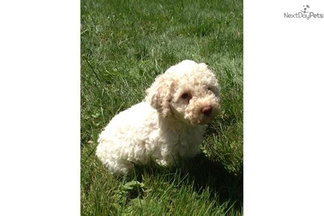 lagotto romagnolo puppies for sale lagotto romagnolo puppy for sale near binghamton new york 26821736 c0e1