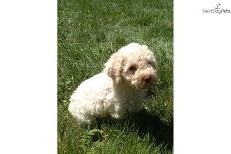 lagotto puppies lagotto romagnolo puppy for sale near binghamton new york 26821736 c0e1