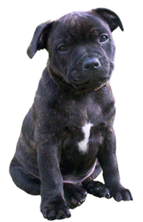 how many sets of do puppies get breed focus save a staffie