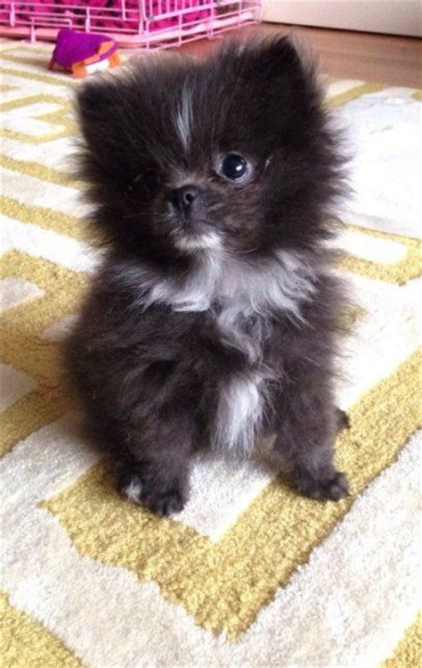 white fluffy pomeranian the 25 best ideas about black pomeranian on baby bears bears and