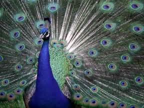 Peacock Blue by Desktop Nature Wallpaper Indian Blue Peacock Free