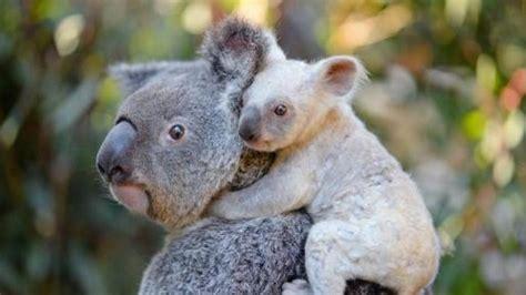 koala hängematte nace una rara koala blanca en un zoo de australia
