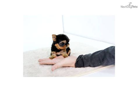 2 pound teacup yorkie grown yorkie 2 pound breeds picture