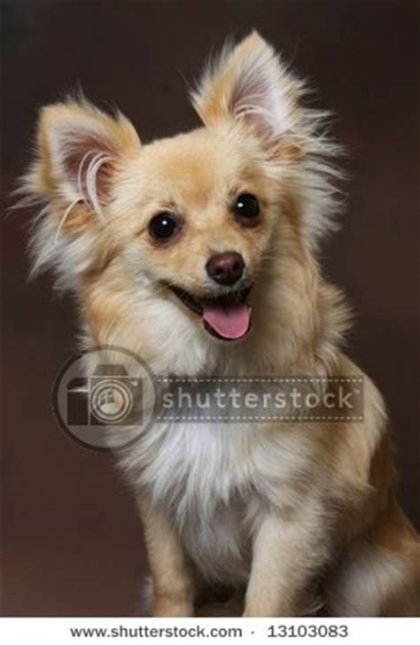 papillon vs pomeranian chihuahua pomeranian mix on brown background by photohunter via
