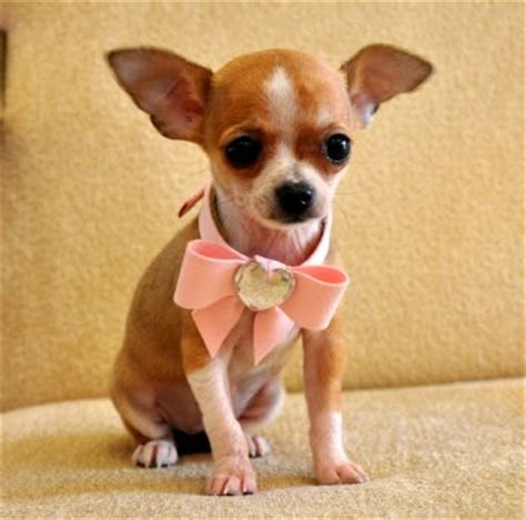 teacup puppies for sale in louisiana teacup chihuahua princess adorable fawn white sold moving to louisiana puppies