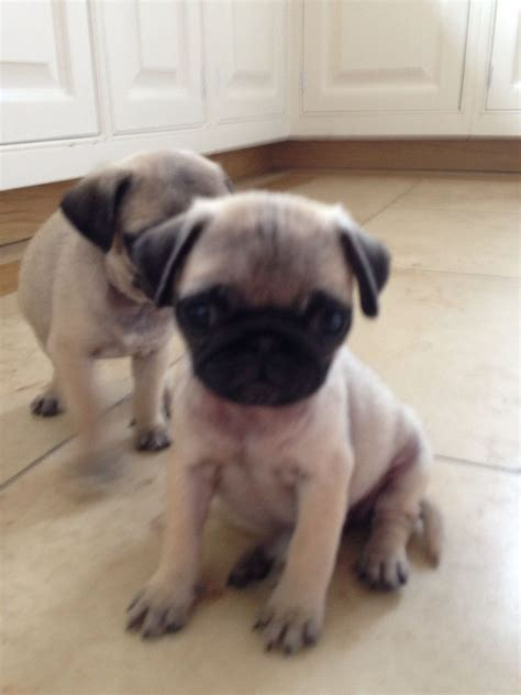 tiny pug puppies tiny teacup pug puppy chislehurst kent pets4homes