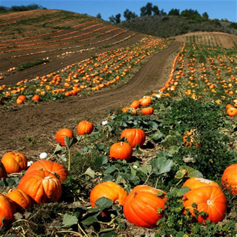 Pumpkin Patches in Williamson County