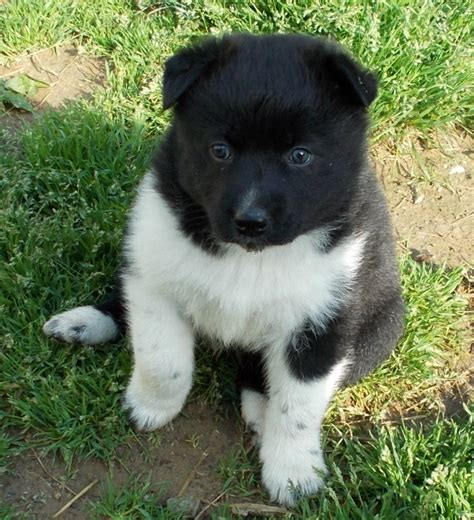 karelian puppy sold to andrew and sabra