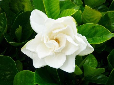 gardenia flower delivery gardenia augusta magnifica evergreen growers