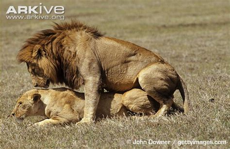 mating video of african people image gallery lion reproduction