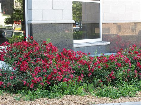 flower carpet red rose rosa flower carpet red