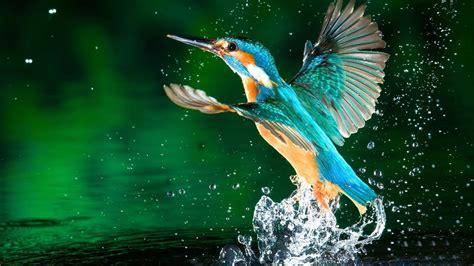 3d Home Design App Mac by Kingfisher Birds Latest Hd Wallpaper Hd Wallpapers