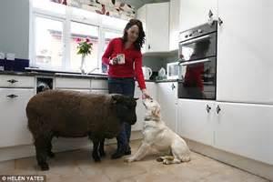 meet  real sheep dog hand reared lamb  owner